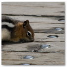 Chipmunk in Banff.